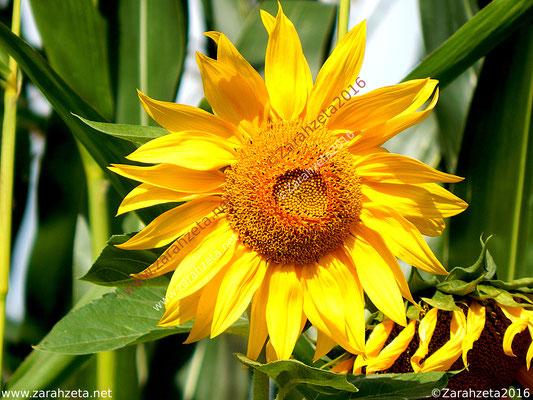 Zarahzetas Naturfotos mit gelber Sonnenblume als Flower Power