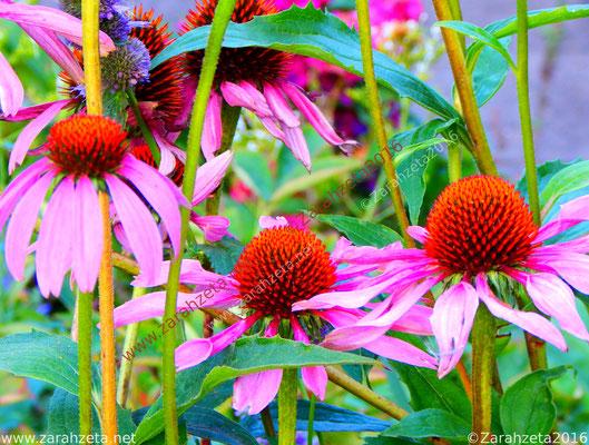 Roter Sonnenhut als Leuchtblumen