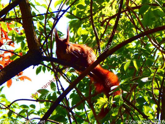 Neugieriges Eichhörnchen im Baum