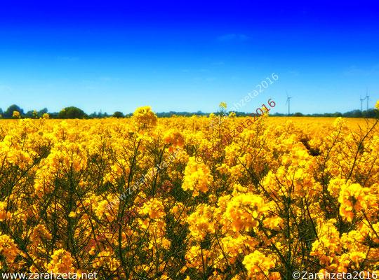 Gelbes Rapsfeld im Sommer unter knallblauem Himmel als Übernatur