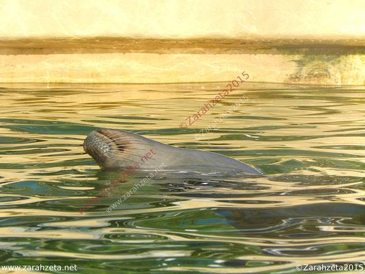 Schwimmende Robbe im Wasserbecken