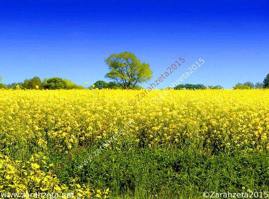 Zarahzetas Naturfotos mit Rapsfeld auf dem flachen Land im Sommer