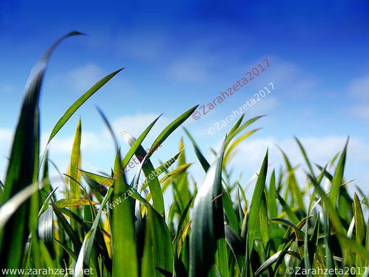 Zarahzetas Naturfotos mit Junge Maisblätter in Makroaufnahme