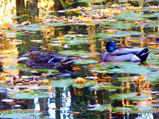 Zarahzetas Tiere Fotowand mit Enten auf dem Waldsee