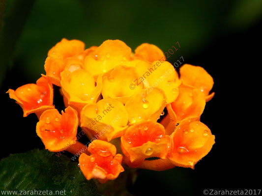 Zarahzetas Naturfotos mit orangem Wandelröschen