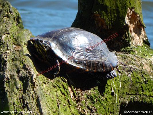 Zarahzetas Tiere Fotowand mit Schildkröte in der Sonne