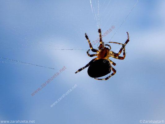 Spinne im Netz als Trapezkünstler