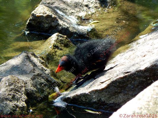 Zarahzetas Tiere Fotowand mit Teichralle und Küken