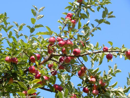Rote Äpfel unter blauem Himmel