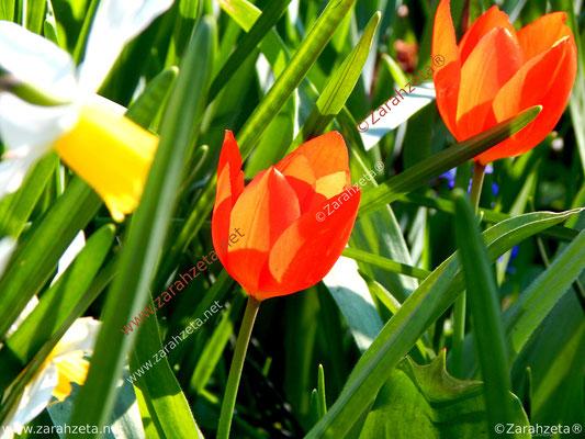 Rote Tulpen im Blumenfeld als Farbenspiel