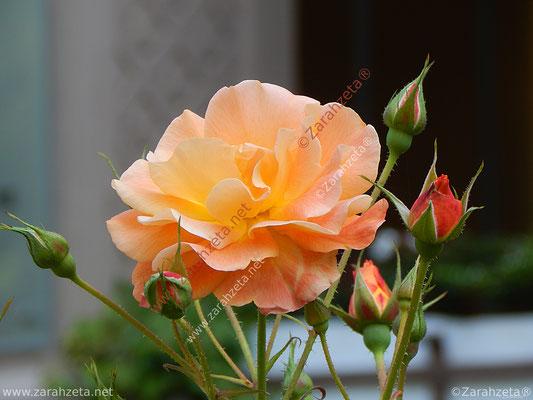 Orange Rose und rote Knospen
