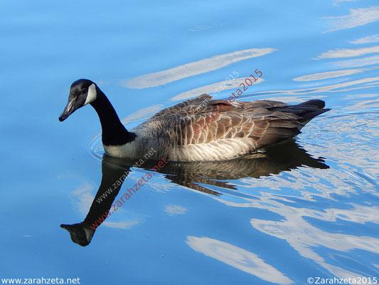 Zarahzetas Tiere Fotowand mit schwimmende Kanadagans und Wasserspiegelung