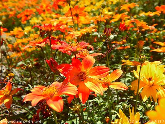 Blumenfeld in Gelb und Orange im Sommer