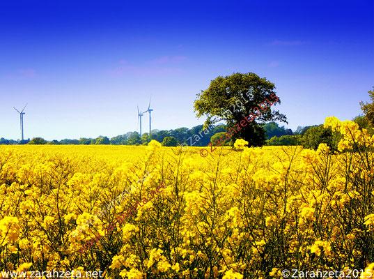 Strahlendgelbes Rapsfeld im Sommer unter blauem Himmel