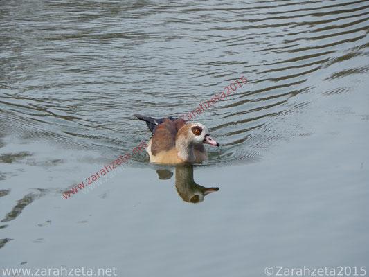 Zarahzetas Tiere Fotowand mit schwimmende ägyptische Gans