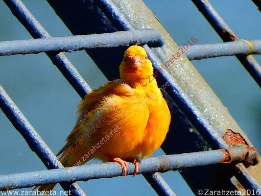 Junger Kanarienvogel als Goldvogel
