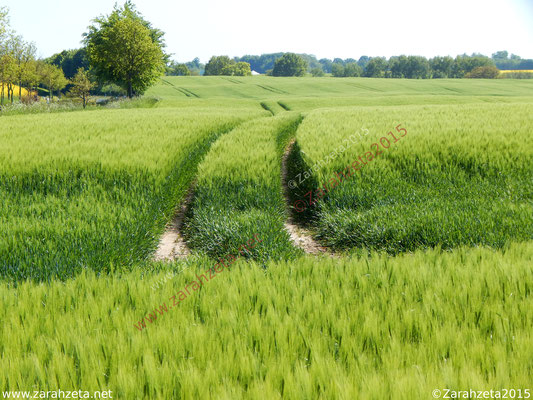 Treckerspur im Getreidefeld