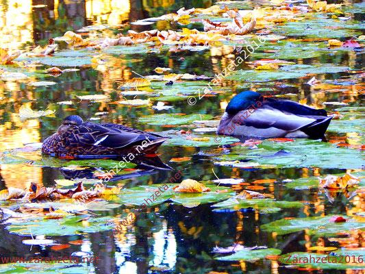 Zwei Enten auf dem Waldsee im Herbst