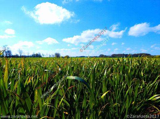 Zarahzetas Naturfotos mit jungem Maisfeld im Sommer