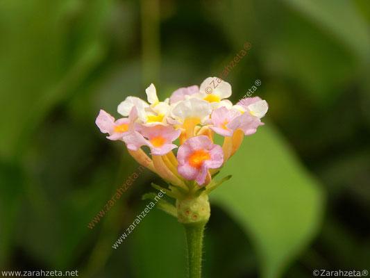 Zarahzetas Naturfotos mit rosanem Wandelröschen