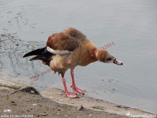 Zarahzetas Tiere Fotowand mit sich schüttelnde ägyptische Gans
