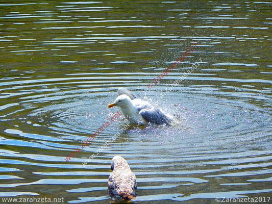 Möwe beim erfrischenden Vogelbad im See