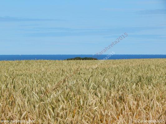 Getreidefeld im Hochsommer an der Ostsee