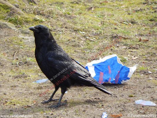 Schwarze Krähe mit Müll
