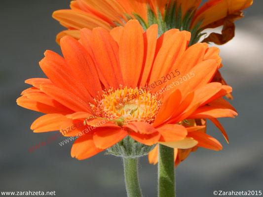 Zarahzetas Naturfotos mit Orange Gerbera als Blumengruß