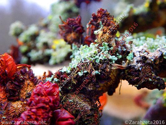 Zarahzetas Naturfotos mit farbiger Moosflechte wie Korallen, Baum corail