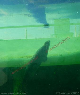 Unterwasserwelt mit einer Robbe