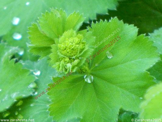 Tautropfen auf grünem Blatt wie Tränen