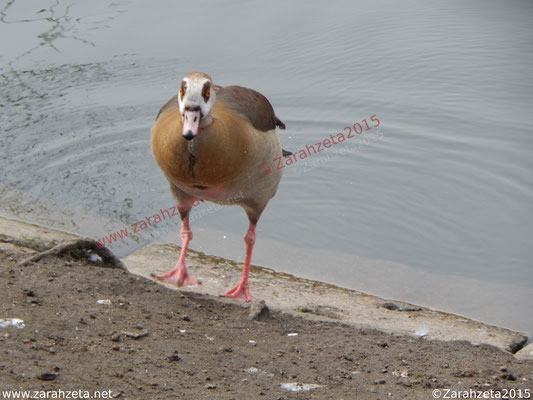 Zarahzetas Tiere Fotowand mit sich schüttelnde ägyptische Gans am Seeufer
