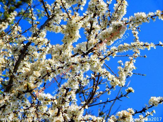 Zarahzetas Naturfotos mit Kirschblüte im Frühling