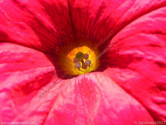 Einblick in einen Blütenstempel als Makroaufnahme