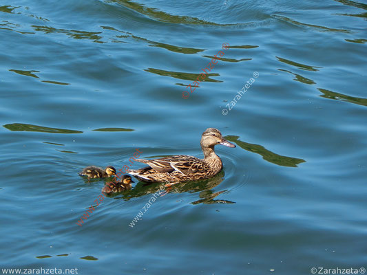 Entenmutter und Küken beim Schwimmunterricht