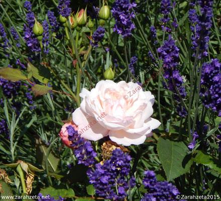 Rosane Rose im Blumenbeet