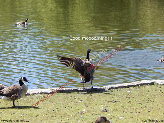 Gans mit Flügelschlag als Good Morning Gruß