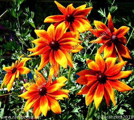 Zarahzetas Naturfotos mit Rotbrauner Sonnenhut