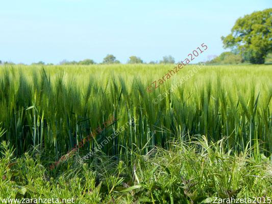 Grünes Getreidefeld als Puschelwiese