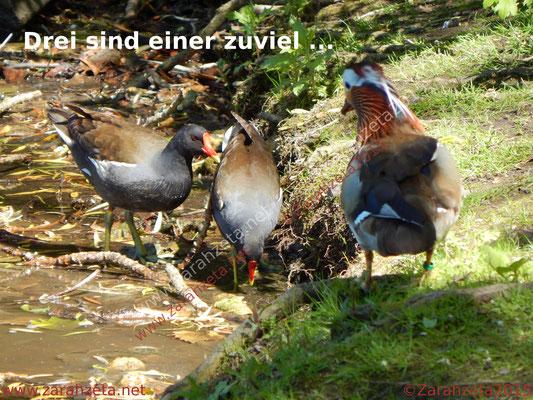 Drei Vögel an der Wasserstelle