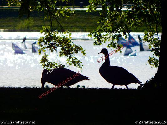 Zarahzetas Tiere Fotowand mit Gänse im Stadtpark am Abend