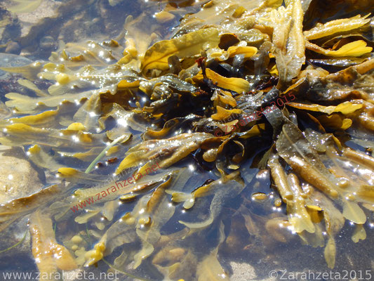 Alge an der Wasseroberfläche in der Sonne als Algenpower