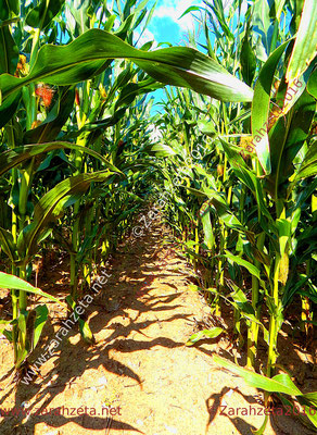 Weg im Maisfeld im Nostalgielook