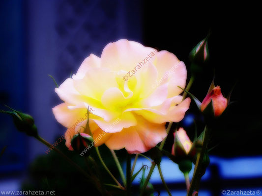 Leuchtende Rose um Mitternacht als Impressionismus