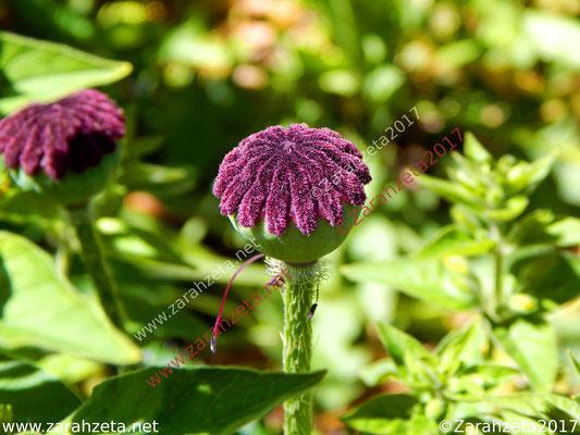 Mohnkapsel als Frisierte Pflanze mit Kopf und Frisur