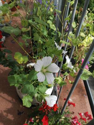 Weiße Trichtermalven sind so elegant! Empfehlung: Malven einfach aussehen und abwarten welche himmlischen Blütenfarben einen belohnen werden...