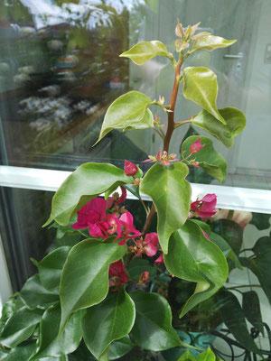 Bougainville oder auch Drillingsblume genannt. Hier kaufe ich tatsächlich im Discounter eine Mini-Stämmchen für 2,50 EUR und sie entwickeln sich prächtig. Empfehlung: mit entsprechender Unterbepflanzung ein toller Hingucker!