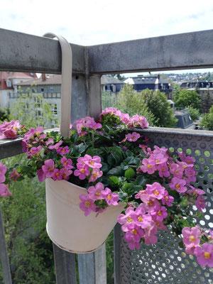 Schneeflockenblume rosa