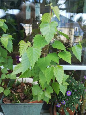 Die kleinen Birken im Blumentopf entwickeln sich prächtig